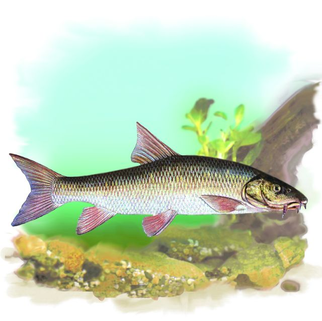Рыбы в беларуси картинки